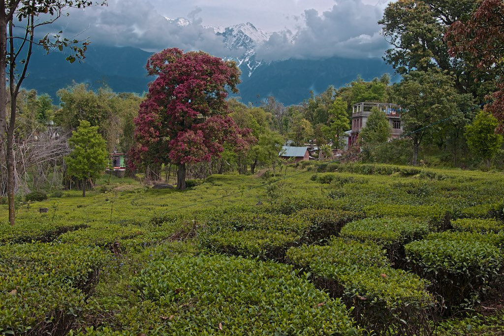 The chemicals in Kangra tea could also be effective in boosting immunity; as they can block coronavirus activity better than anti-HIV drugs.